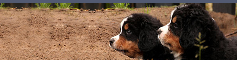 bernese moutain dogs slider